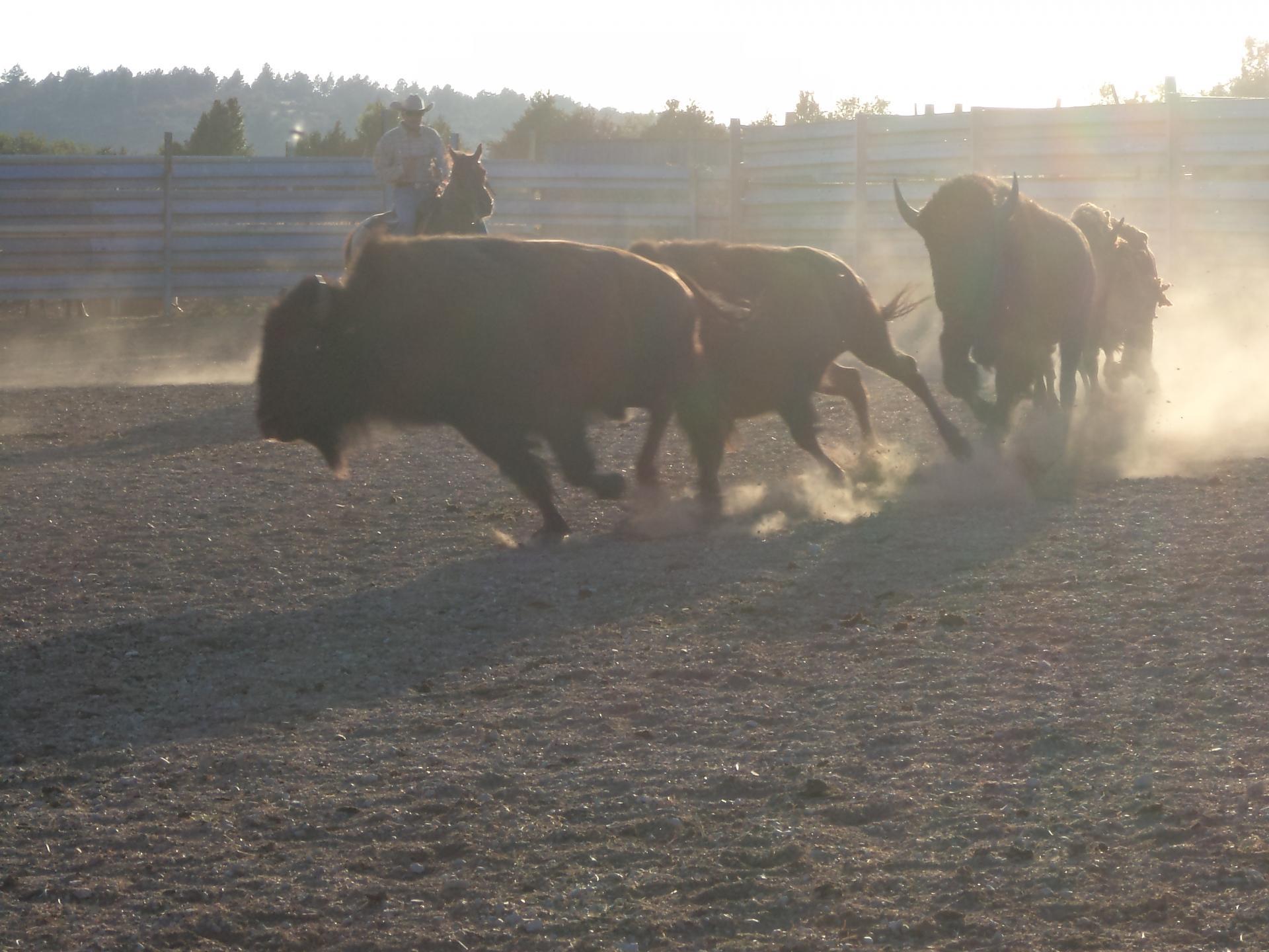 Tri du bétail