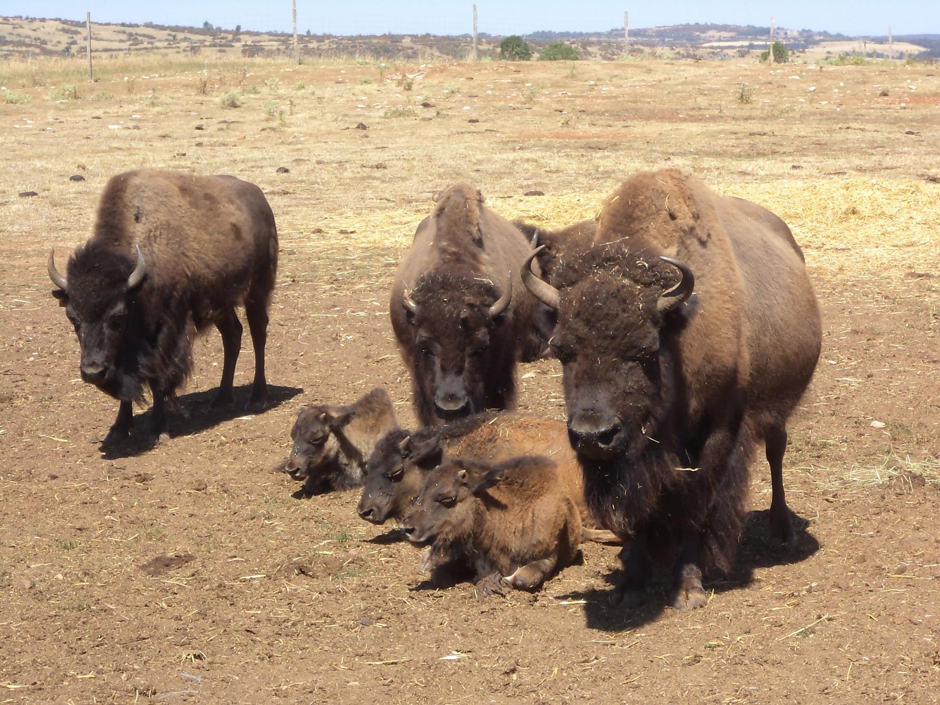 troupeau de bisons